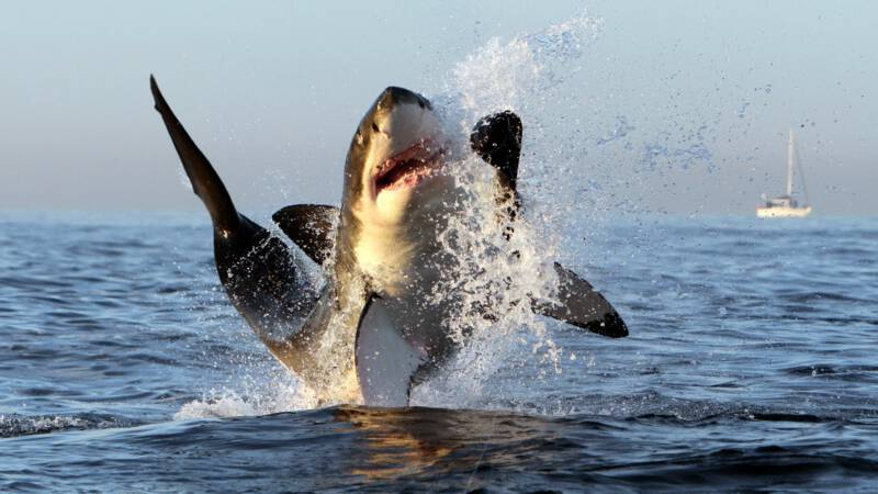 How the white shark mysteriously disappeared from Cape Town Bay