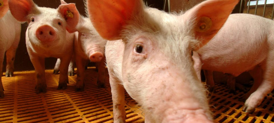 """LTO: """"Utrecht district does not provide space for intensive livestock rearing"""""""
