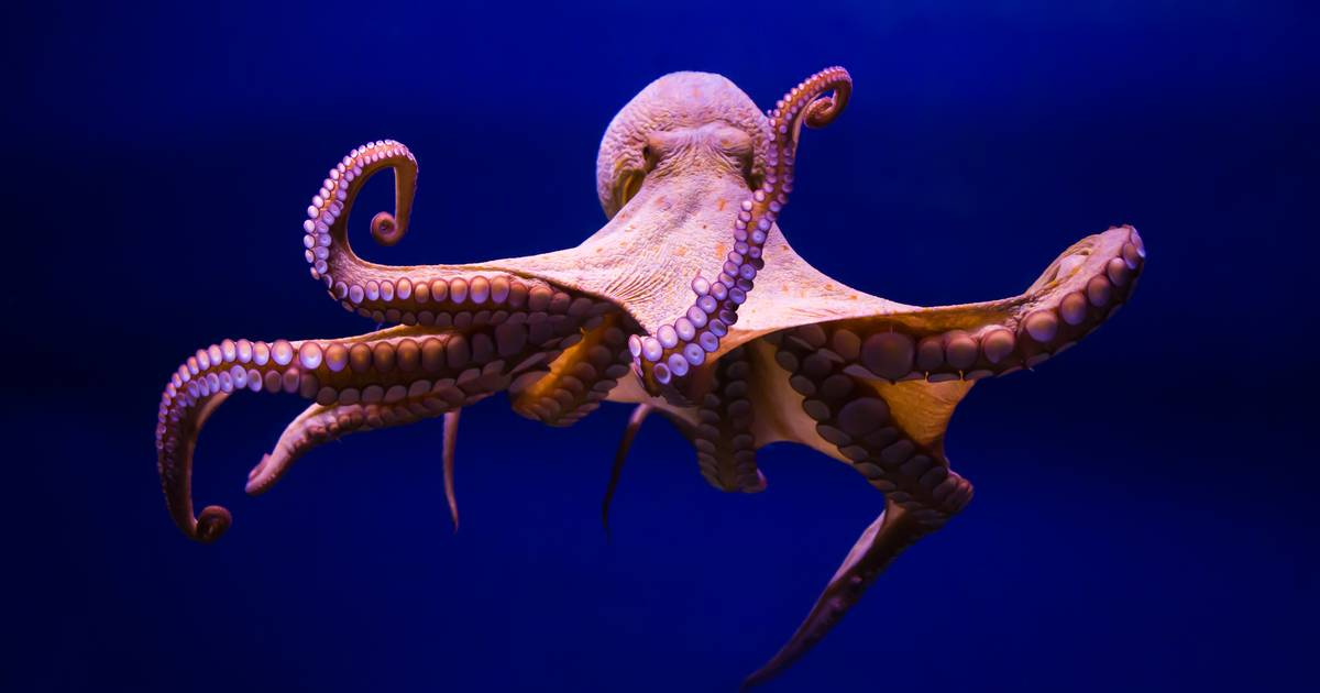 Australian octopus beats geologist |  The best thing about the web