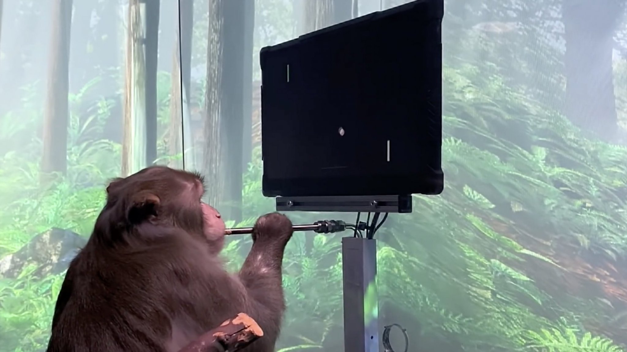 Startup Elon Musk features a monkey controlling Pong with a brain
