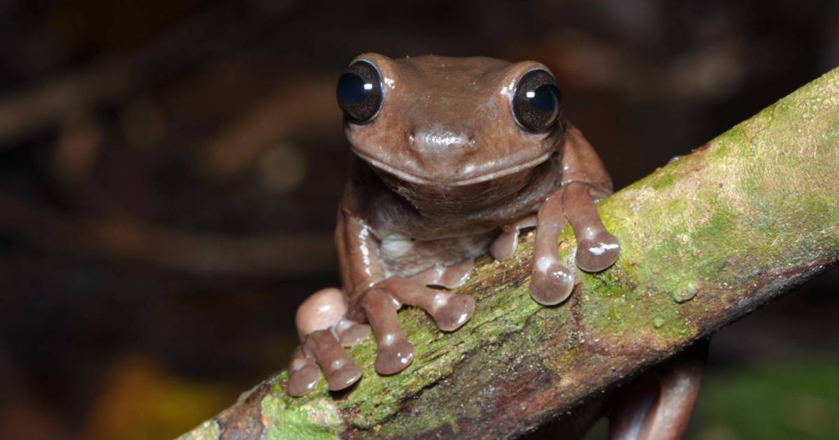 A special discovery in the rainforests of New Guinea: the Chocolate Frog |  Science