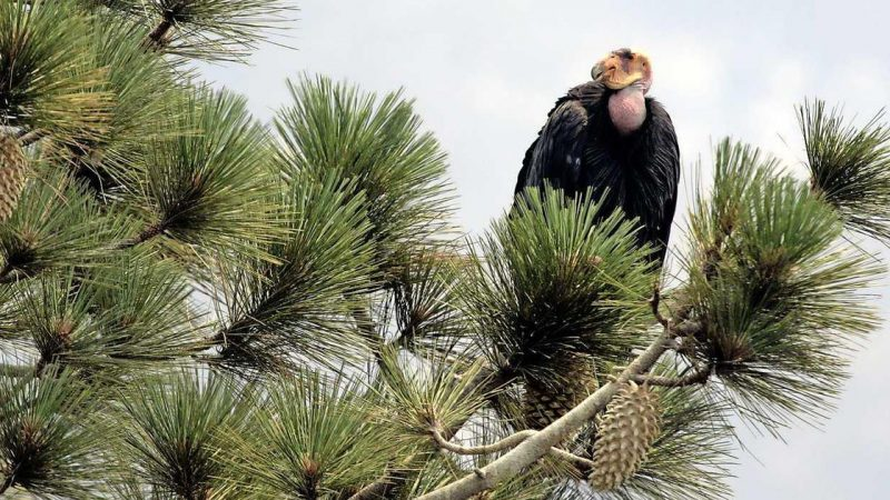 Condors destroy family home in California |  abroad