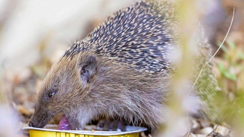 New Zealand wants to eradicate hedgehog |  Abroad