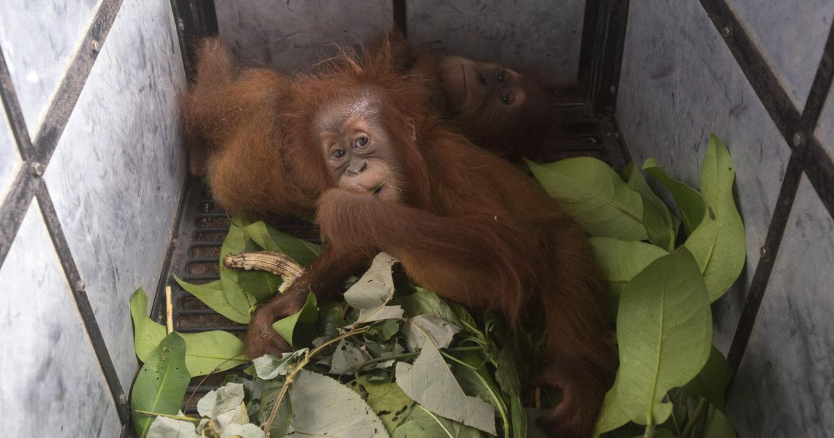 Saving a baby orangutan from the hands of smugglers |  abroad