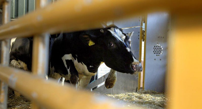 The British want to ban direct animal exports