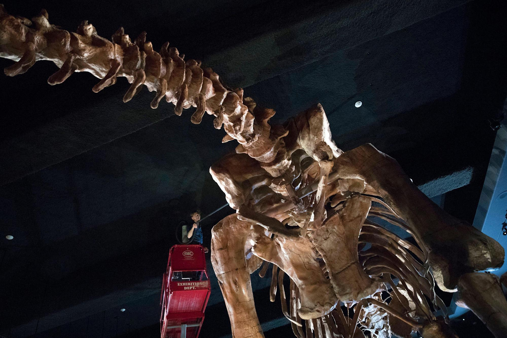 One of the largest dinosaur species in the world was discovered in Australia
