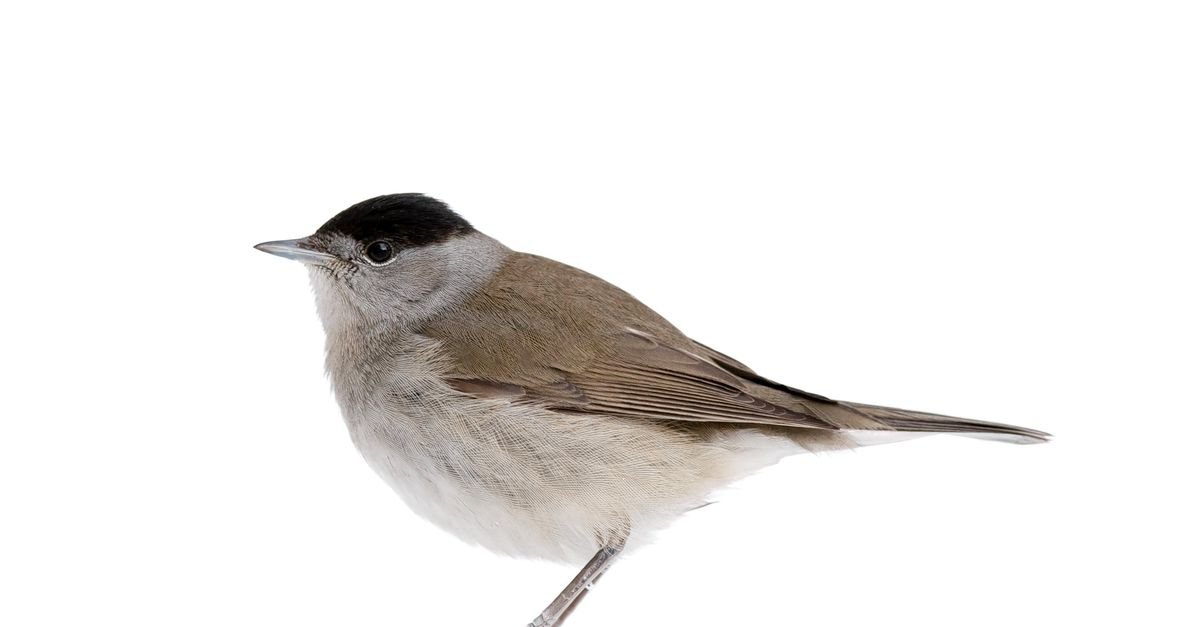 Why do some birds follow the song of other birds?