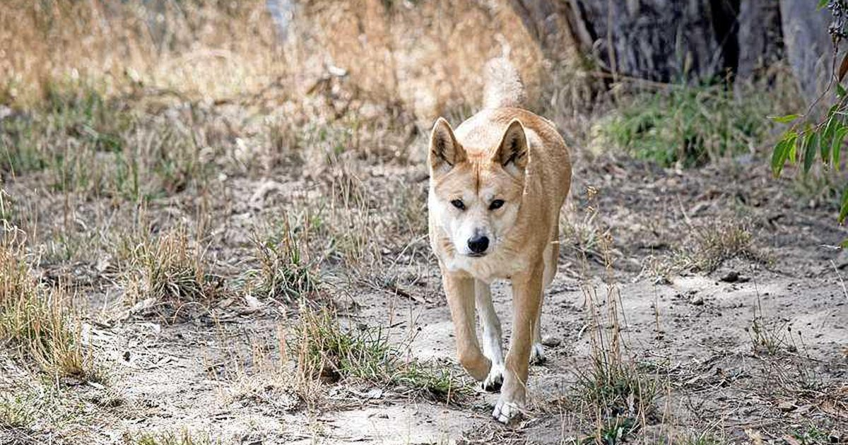 Freak Wong Explains: Differences Between a Dog and a Dingo |  Natural