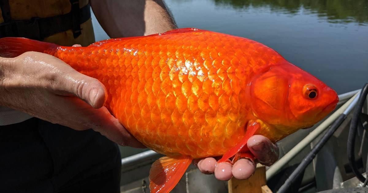 Minnesota 'wild goldfish' warning: 'More dangerous than you think' |  abroad