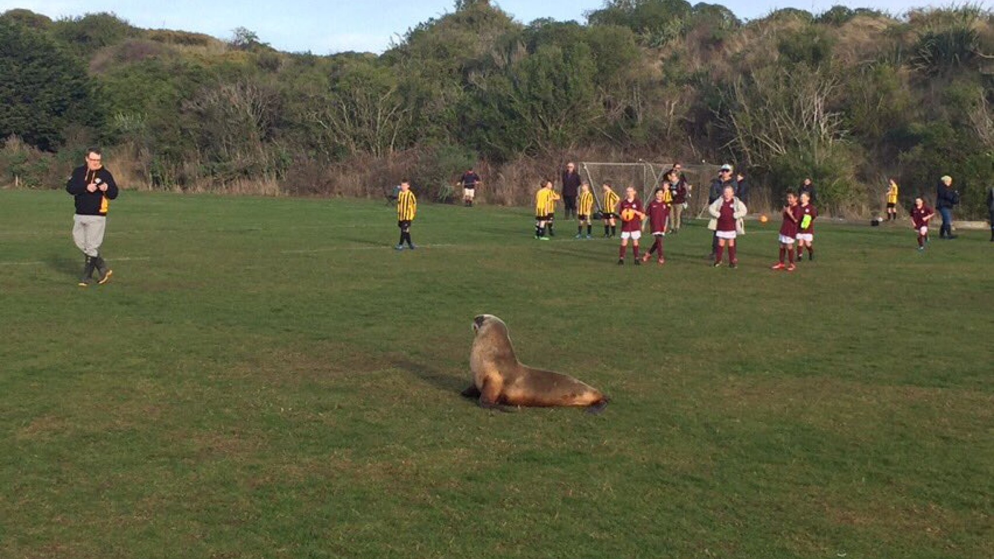Sea Lion disrupts football match in New Zealand