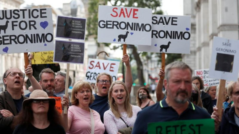 British anger over the fate of the alpaca Geronimo |  Abroad