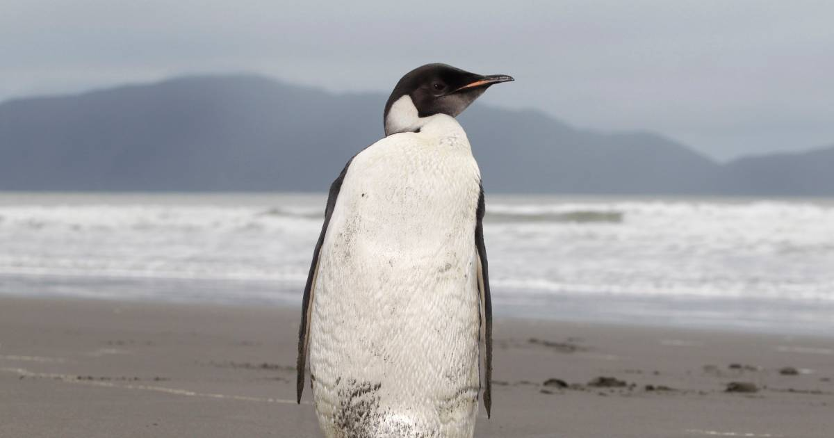 Emperor penguins will be extinct in eighty years    abroad