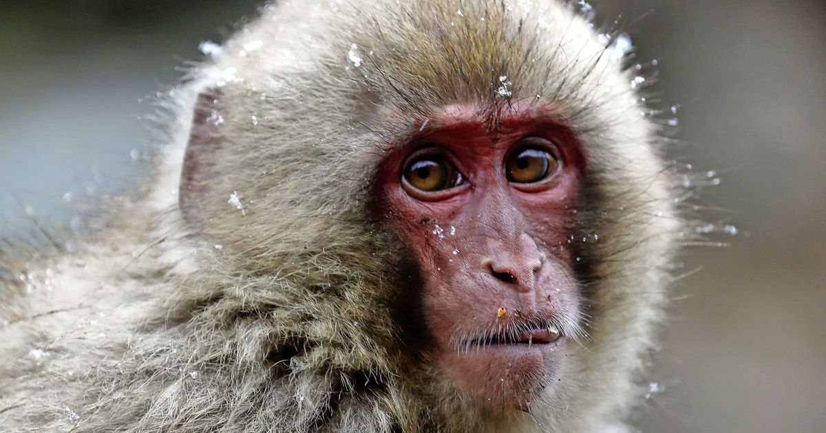 Fred: A female seizes power in a Japanese monkey colony    abroad