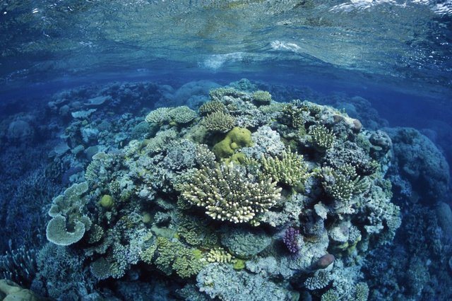 The exceptionally large 400-year-old coral was discovered in the Great Barrier Reef