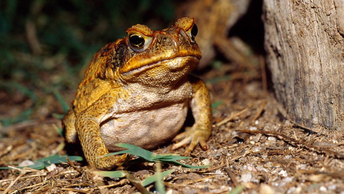 Cannibal frogs eat a lot of their chicks, which accelerates evolution