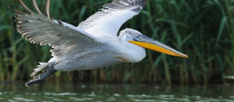 Nature today |  Opportunities for the return of the Dalmatian pelican to the Low Countries