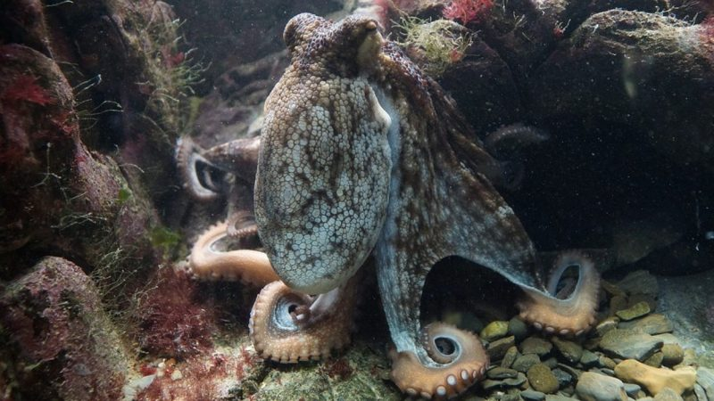 New report on World Octopus Day Against Octopus Cultivation - Early Birds