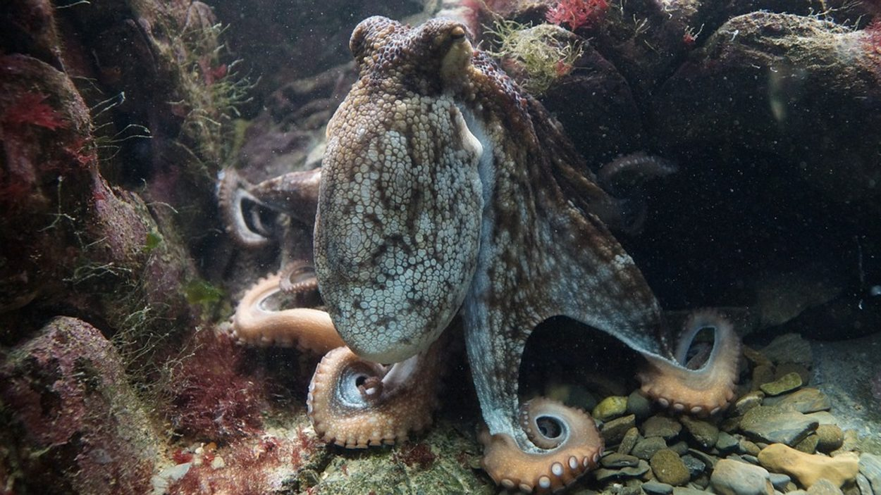New report on World Octopus Day Against Octopus Cultivation – Early Birds